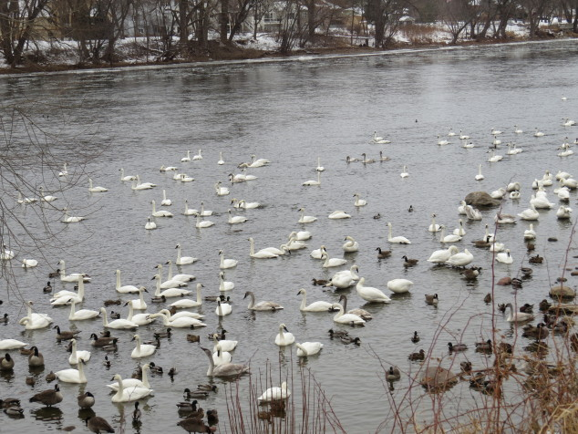 Swans on the Mississippi River