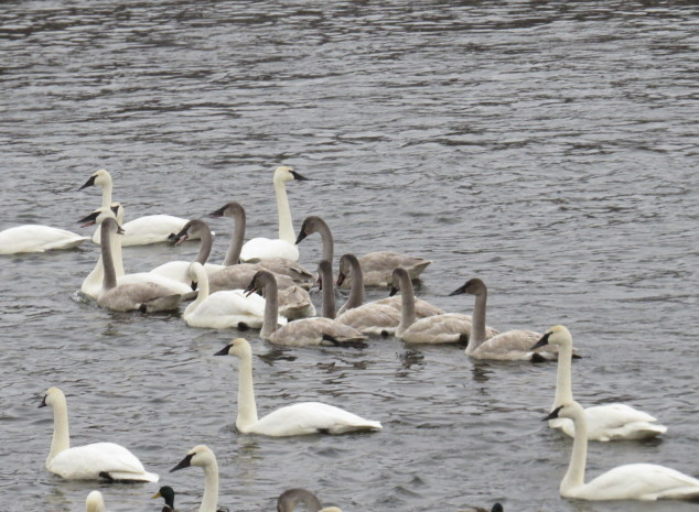 Family group of young swans