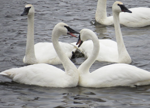 Paired Trumpeter Swans
