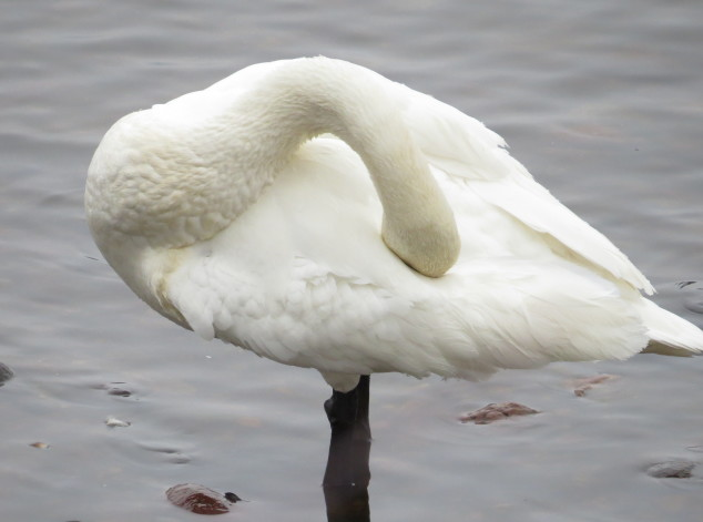 Swan with head tucked in feathers