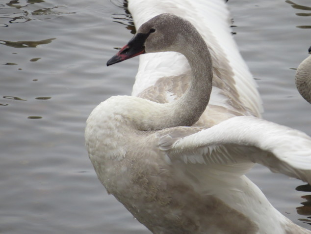 Young, gray Trumpeter swan