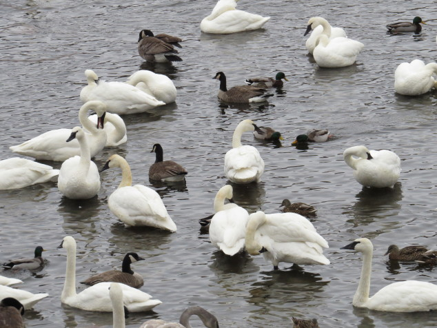 Trumpeter swans, Canadian geese and Mallard ducks