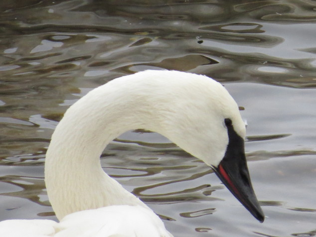 Trumpeter Swan-close up