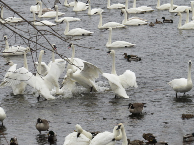 Swans in circle dance