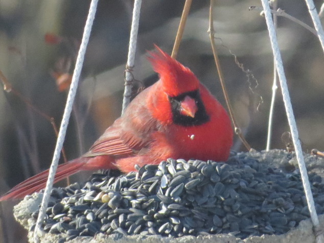 Cardinal in pile of seeds
