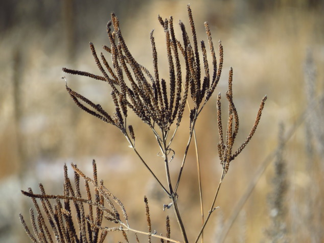 Prairie plant gone to seed