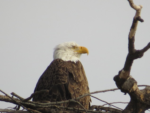 Female in the nest