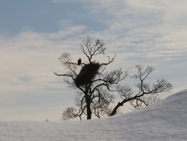 Eagle tree with snow-covered boulder