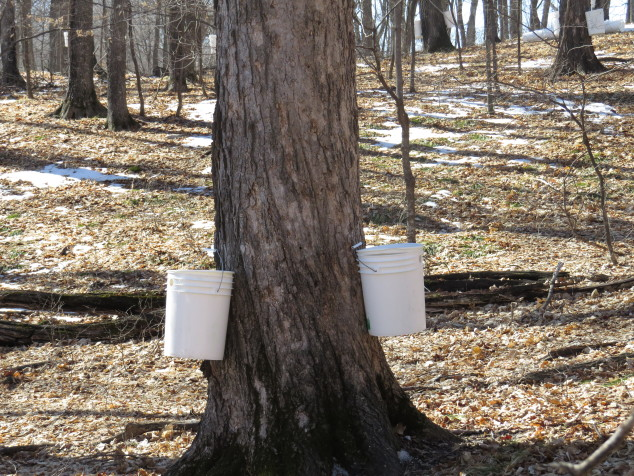 Huge maple with buckets