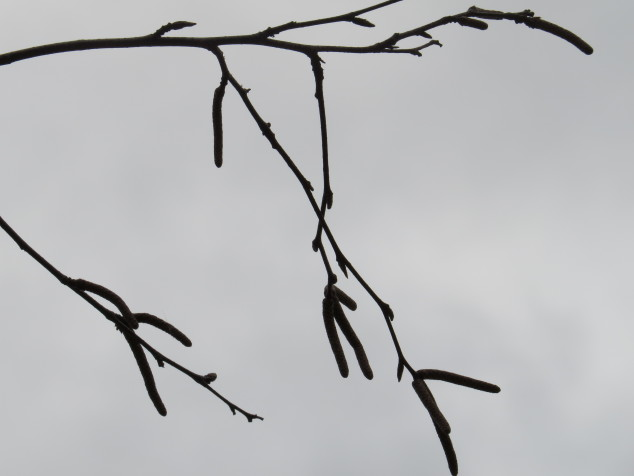 Birch buds and catkins