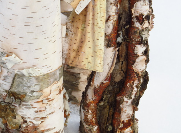 Birch tree wound and new bark