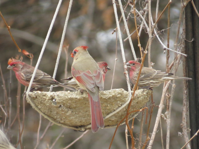 Purple finches and female cardinal at feeder