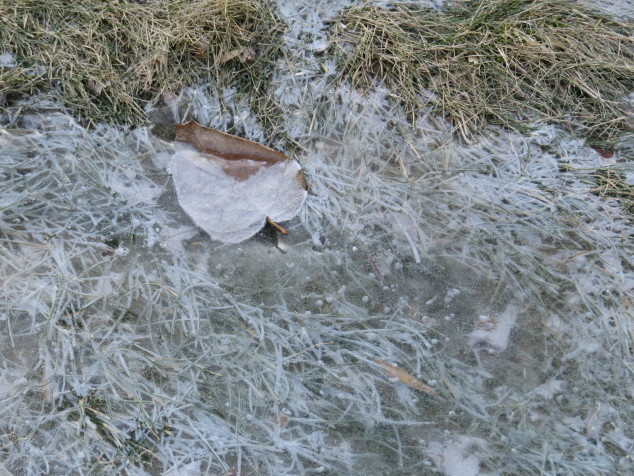 Ice-covered leaf