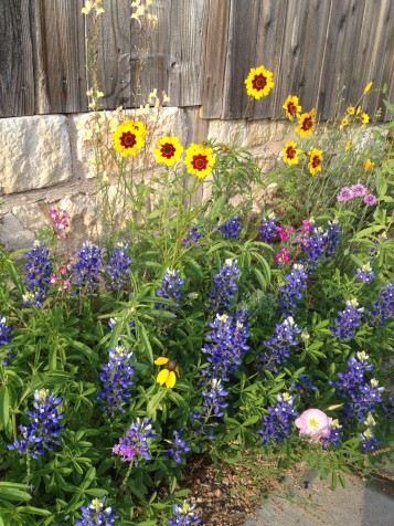 Bluebonnets and blanket flower