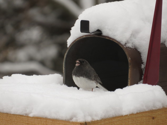 Dark-eyed junco in the snow