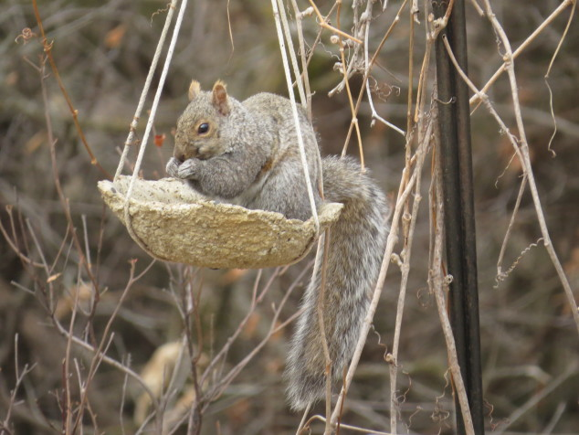 Squirrel in birdfeeder