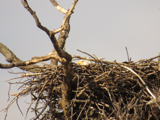 Mama eagle in first nest