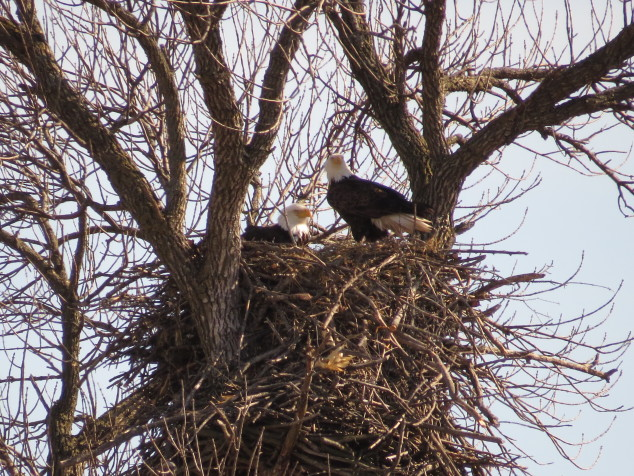 Both parents at second nest