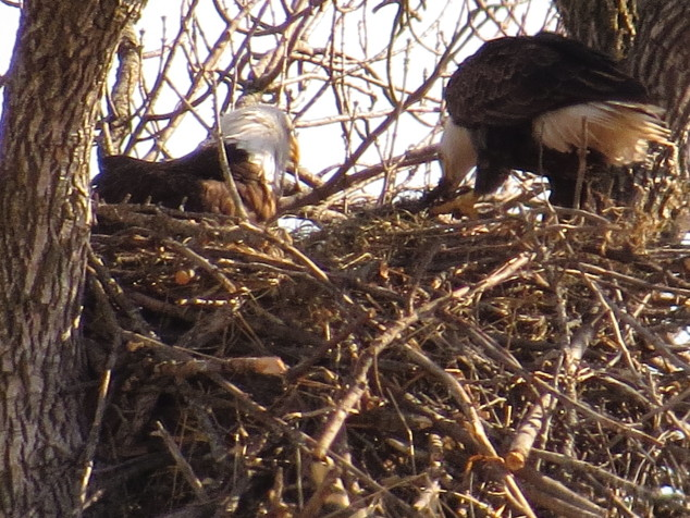 Eagle parents on the nest