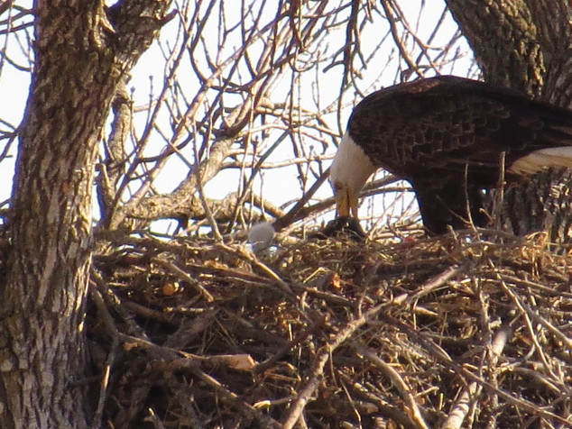 Parent eagle feeding eaglet