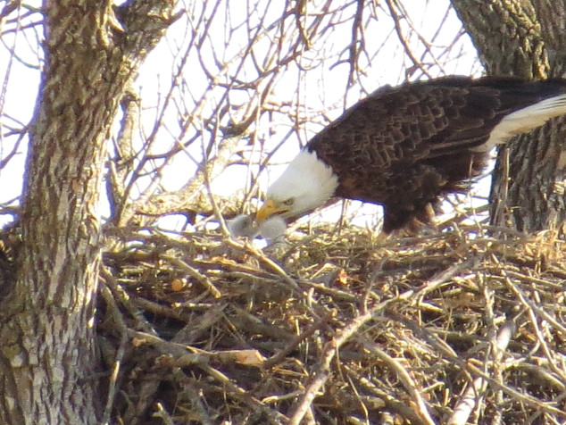 Parent eagle feeding two eaglets