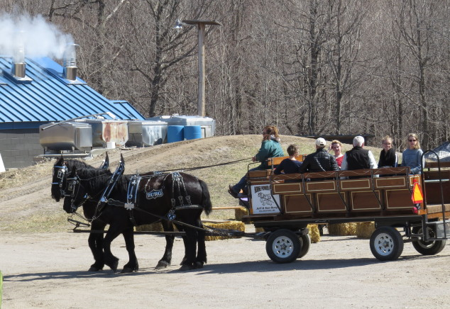 Percheron team pulling a wagon of people