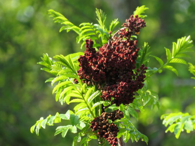 Sumac with new leaves