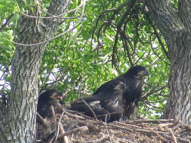 Three young eagles in the nest