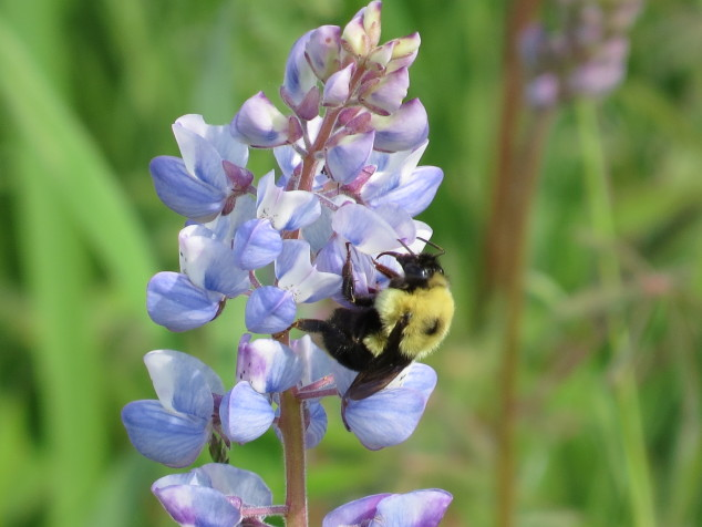 Wild Lupine with bumblebee