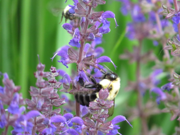 Bumblebees on blue salvia