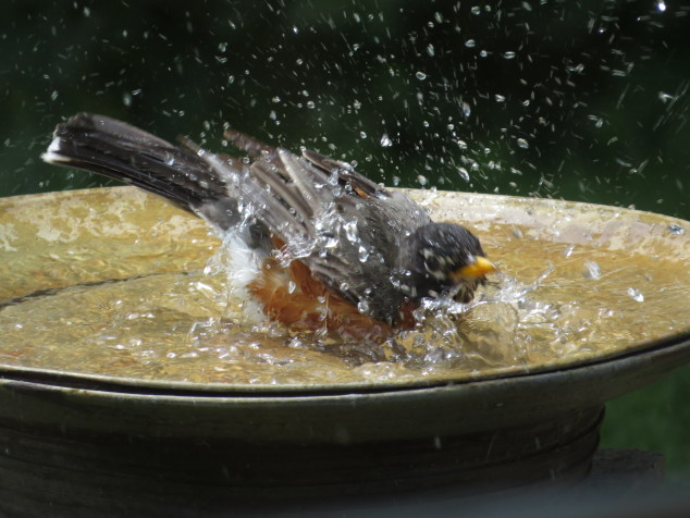 Robin in birdbath-2