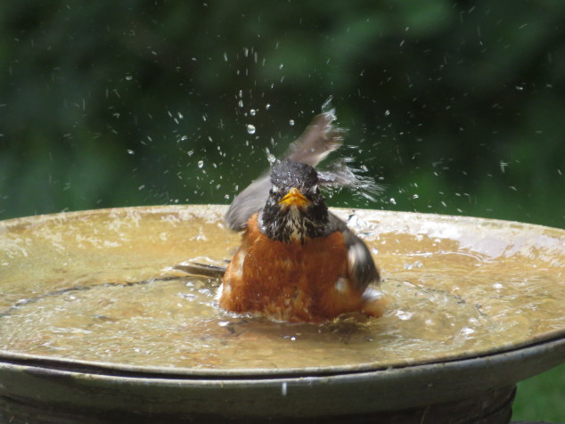 Robin in birdbath-5