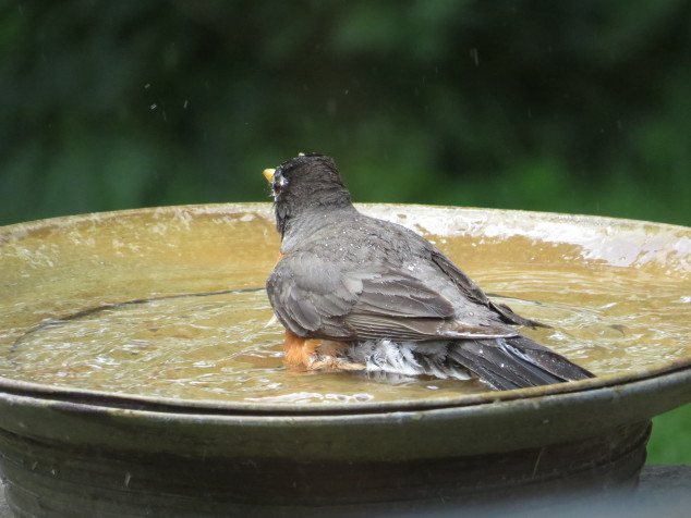 Robin in birdbath-7