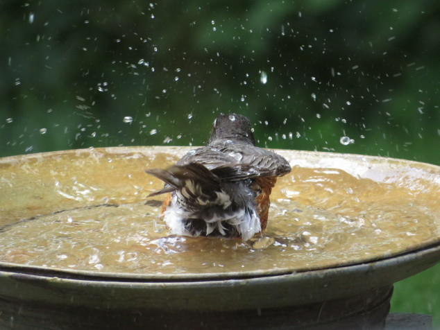 Robin in birdbath-8