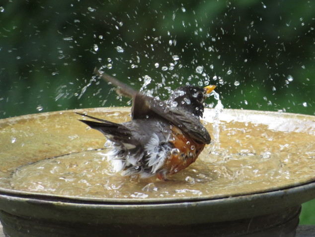 Robin in birdbath-10