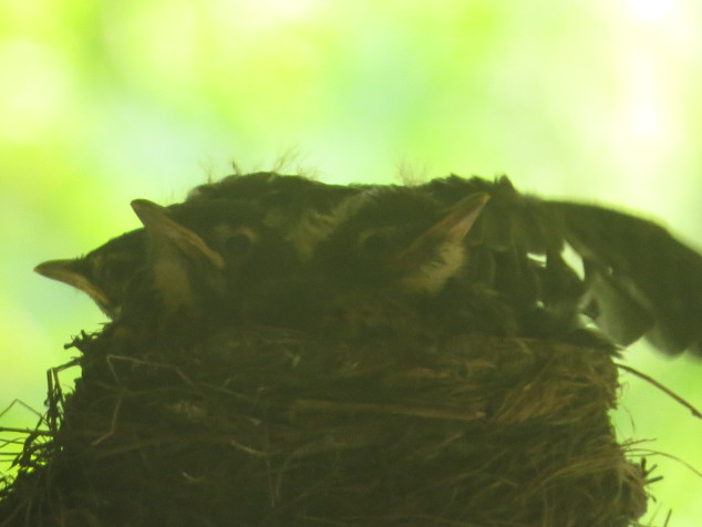 Robin babies in the nest