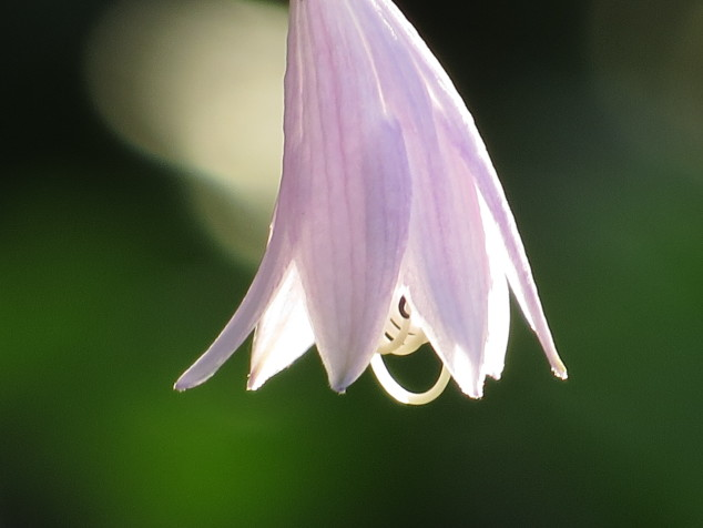 Single hosta flower