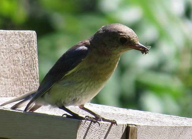 Female bluebird with bee