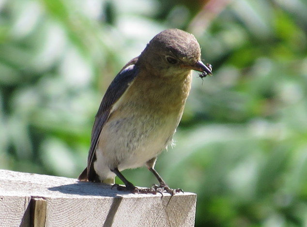 Female bluebird with insect