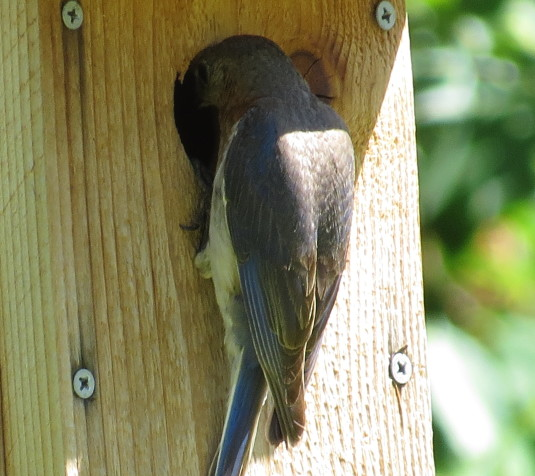 Female bluebird going into nest