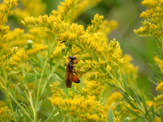 Goldenrod with wasp