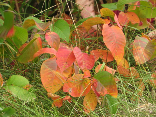 Fall poison ivy