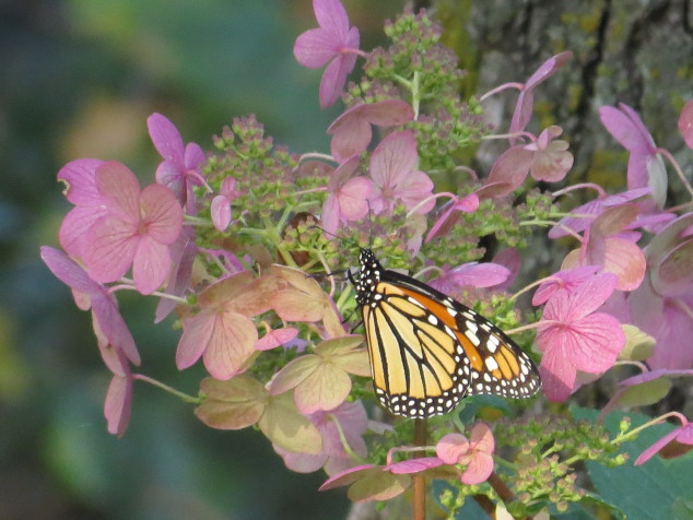 Monarch on hydrangea