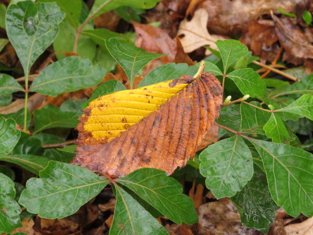 Fall leaf on low-grow sumac