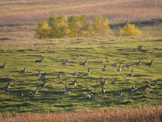 Geese in pasture at sunset