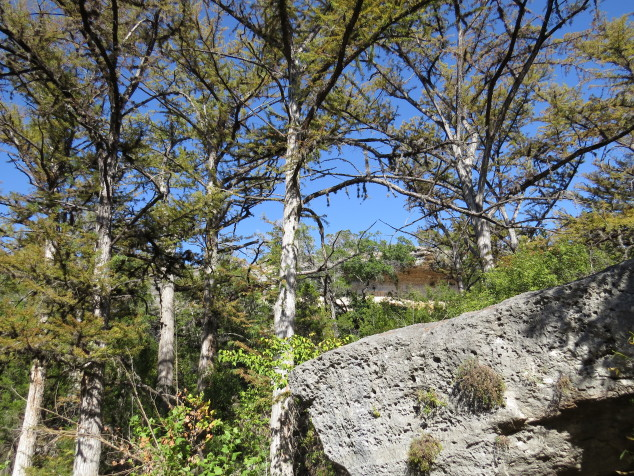 Bald cypress trees at Hamilton Pool