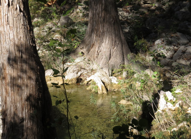 Bald cypress in the stream from Hamilton pool