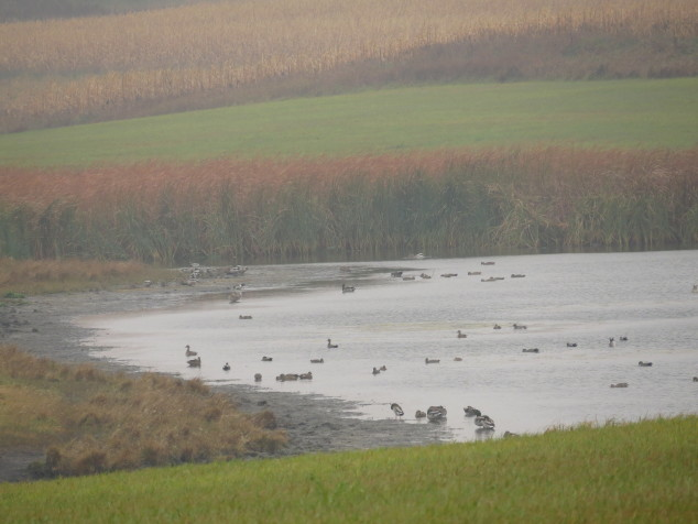 Geese on the slough