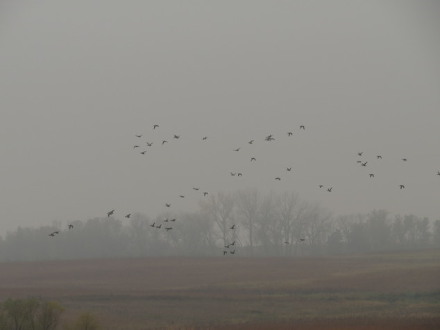 Geese flying in the fog