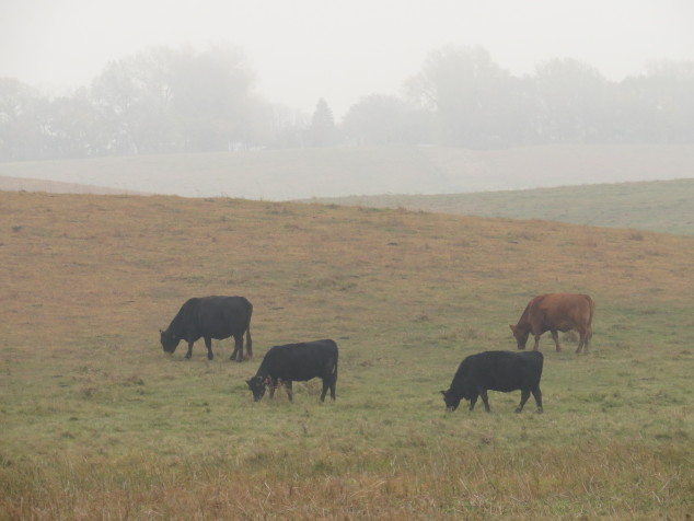 Cattle grazing in the pasture